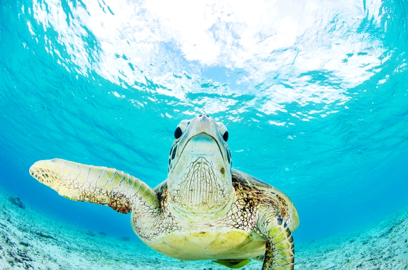 See what the sea turtles are up to in The Great Barrier Reef.