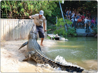 Wildlife Keeper Hand Feeding a Crocodile in Front of Spectators as it Exits the Water at Hartley's Crocodile Adventures in Cairns