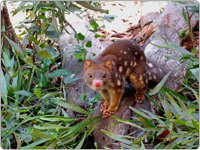 Spotted Australian Marsupial Called the Tiger Quoll at Hartley's Crocodile Adventures in Cairns