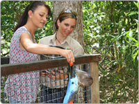 Woman Hand Feeding a Cassowary Over a Fence with a Wildlife Keeper at Hartley's Crocodile Adventures in Cairns