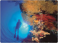 Scuba Diver Swimming Up from the Depths Beside a Large Colourful Coral Cay