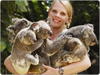 Wildlife Keeper Holding Five Cuddly Koalas