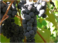 Purple Grapes Hanging on the Vine