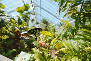 Butterfly Landing on Foliage in the Australian Butterfly Sanctuary Kuranda Far North Queensland