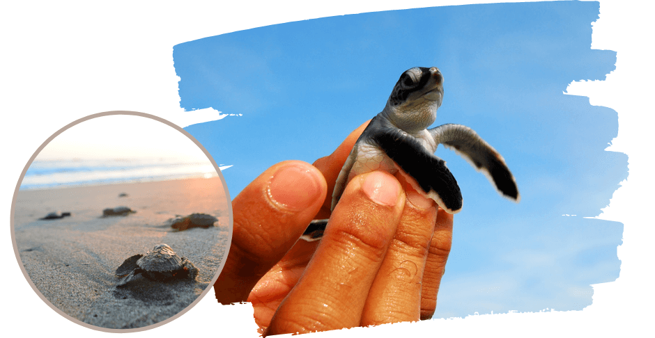 Best Places to See Baby Turtles